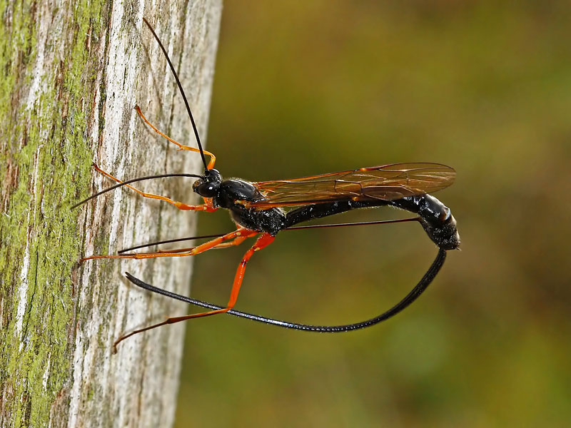Наездник насекомое. образ жизни и среда обитания наездника