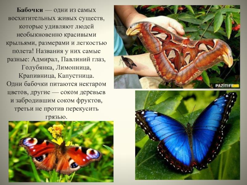 Описание бабочки дневной павлиний глаз: среда обитания и жизненный цикл насекомого, его фото