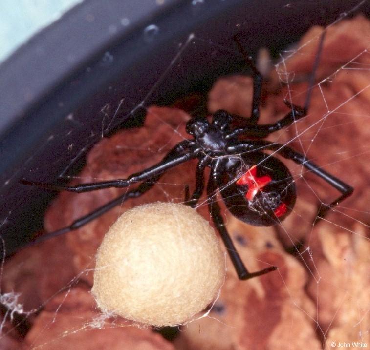 Паук каракурт: характеристика и свойства белого и чёрного паука