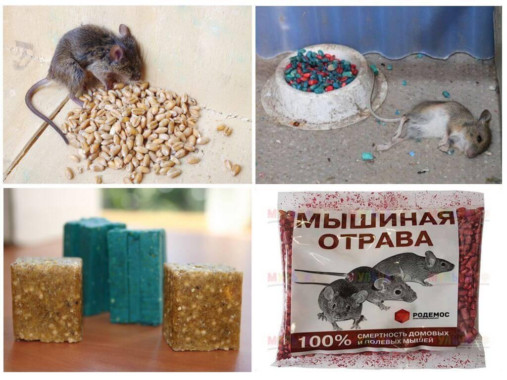 Как избавиться от мышей в квартире и частном доме: эффективные способы