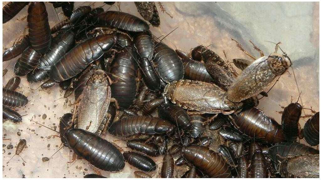 Как разводить «мраморных» тараканов?