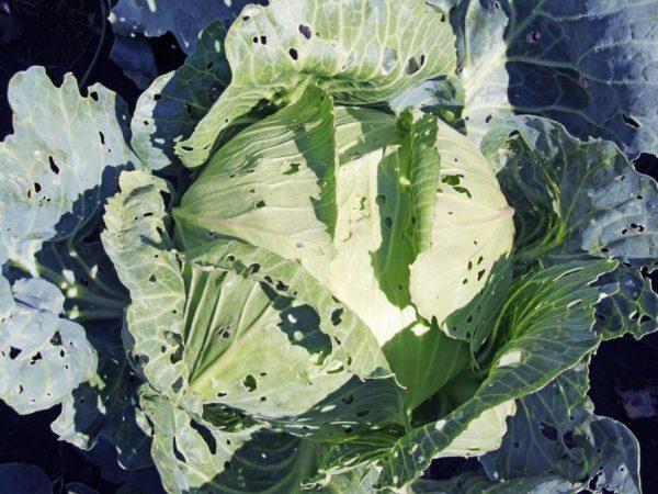 Чем обработать капусту от блошки: народные средства