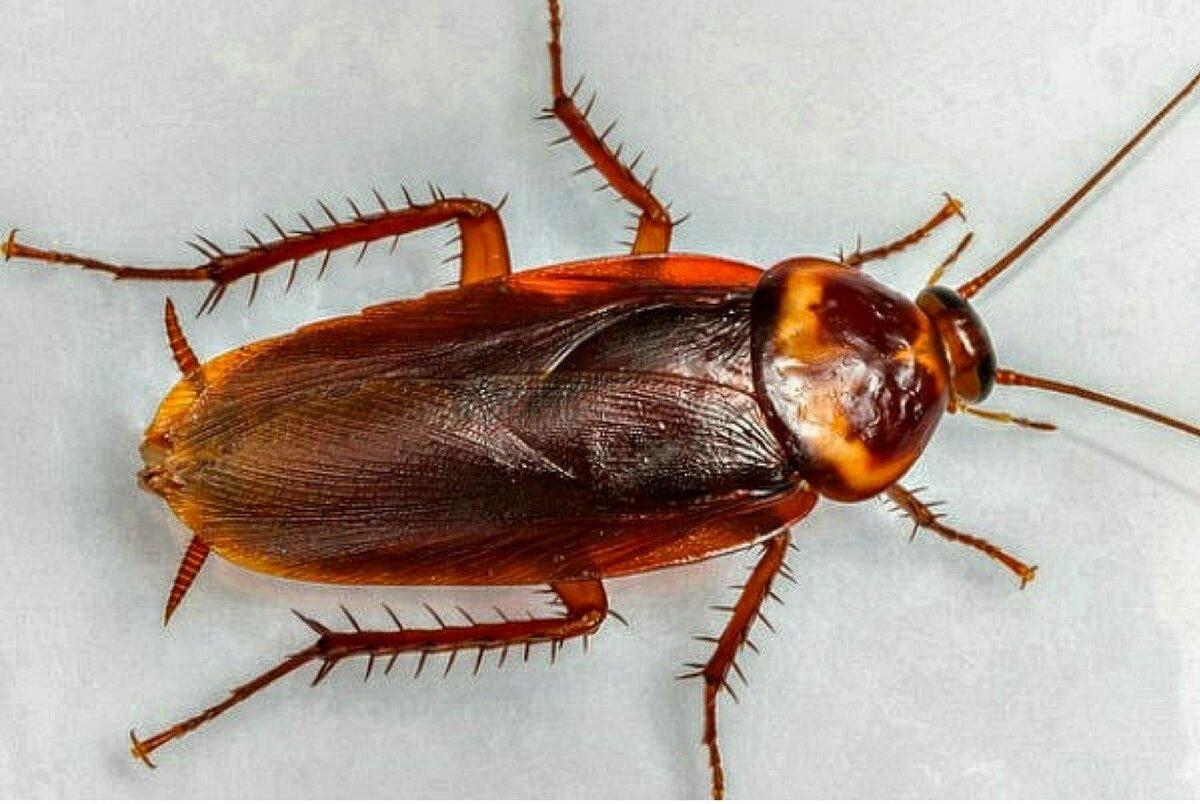 Сколько живут тараканы без еды, воды и воздуха