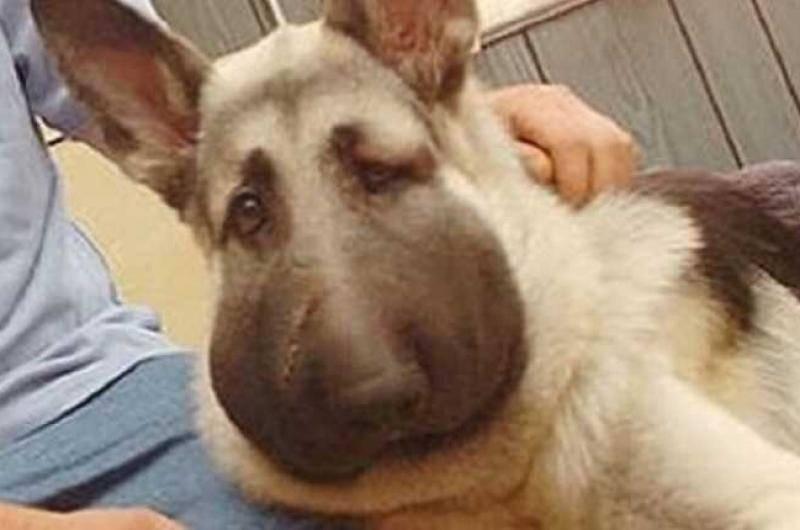 Что делать, если собаку укусила оса