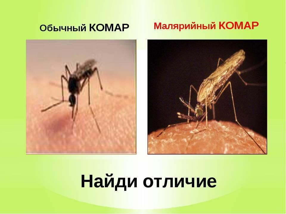 Малярийный комар. строение. морфология. много фото