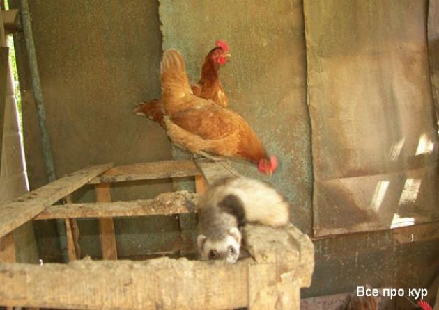Полезные советы опытных птицеводов как избавиться от мышей и крыс в курятнике