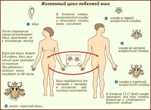 Способы заражения педикулезом. симптомы педикулеза