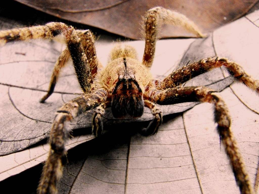 Топ 10 самых больших пауков
