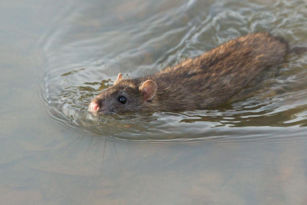 Умеют ли морские свинки плавать в воде