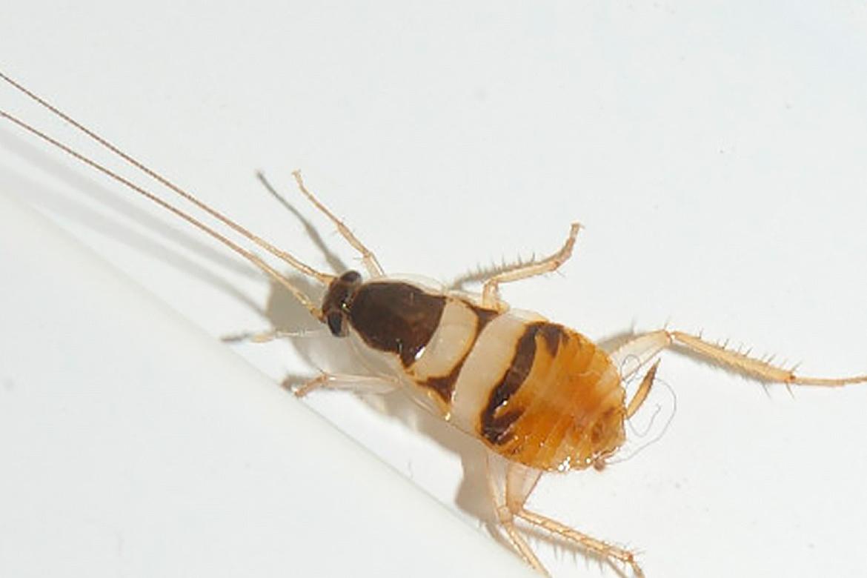 Сколько живут тараканы рыжие в квартире