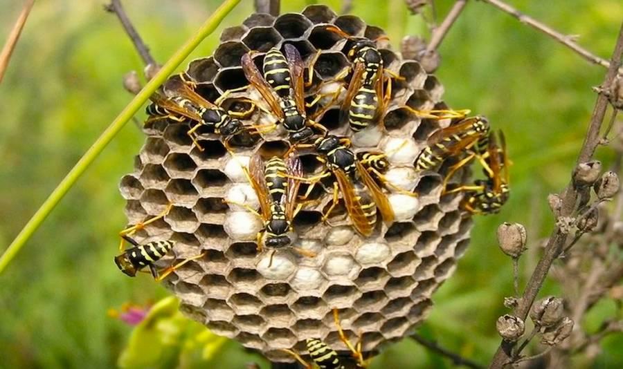 Шмель: как выглядит, чем отличается и интересные факты о насекомом. 120 фото и видео полета шмеля