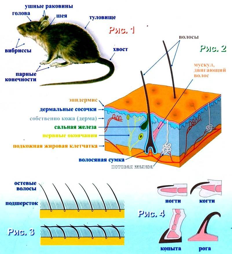 Морская мышь: внешний вид, повадки, образ жизни 2021