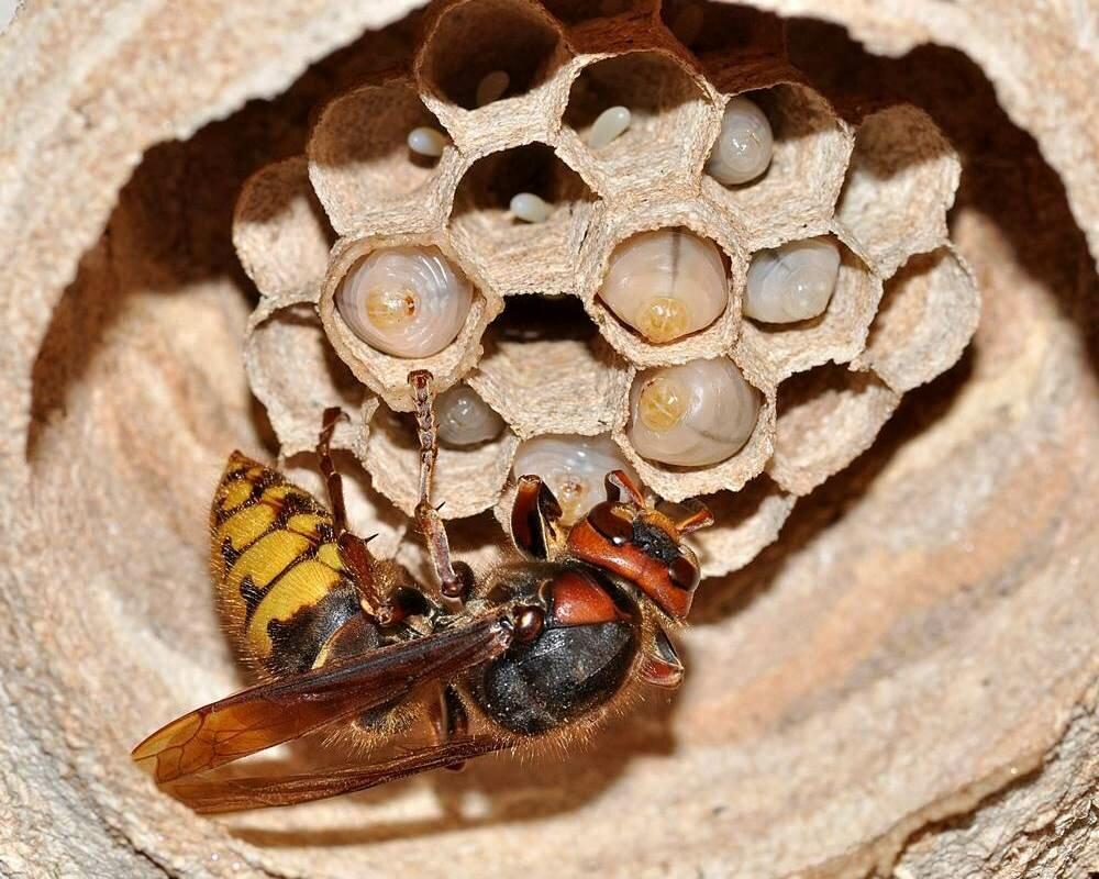 Как избавиться от шершней на даче и в доме, чем бороться на чердаке или под крышей
