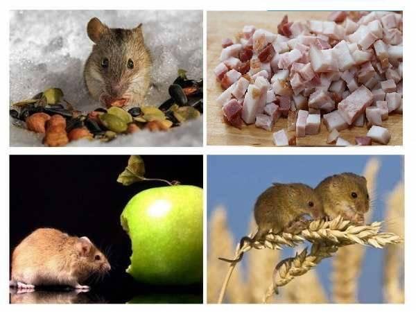 Приманка для мышей - что они любят