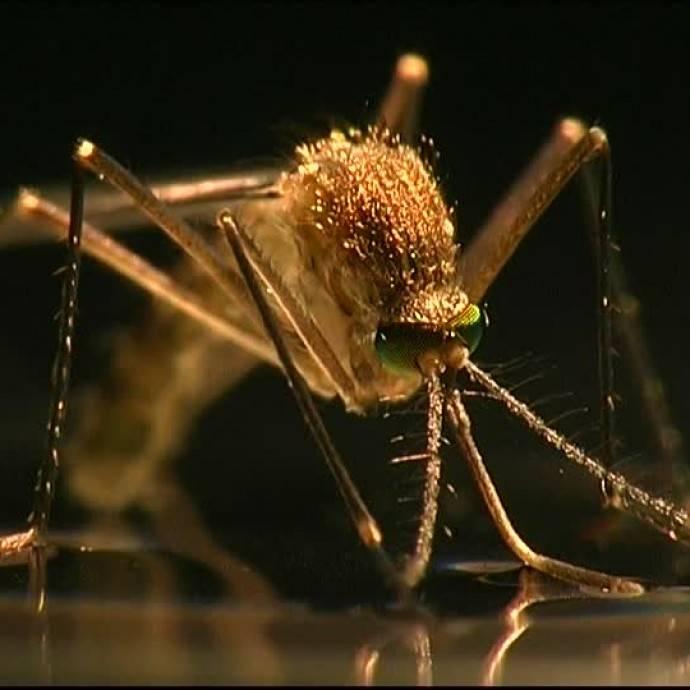Сколько зубов у комара википедия. особенности строения комара. почему комары кусают не всех
