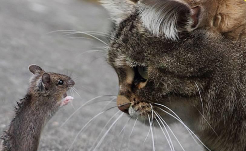 Как и какими средствами проводится обработка помещений от крыс?