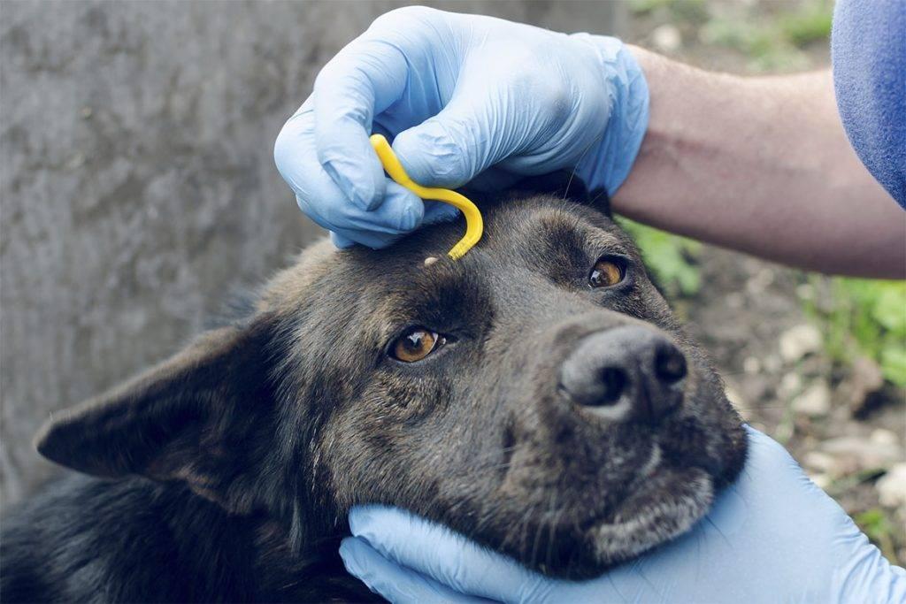Чем обработать укусы мошки у собаки. укусы комара у собаки
