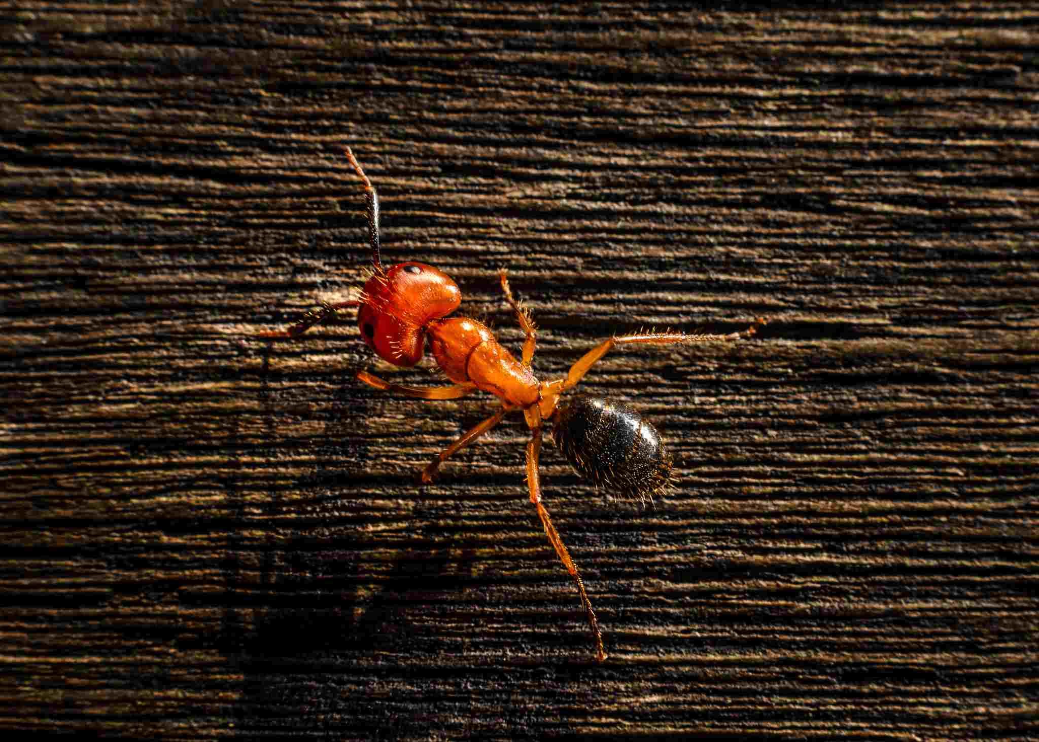 Огненные муравьи: описание и фото