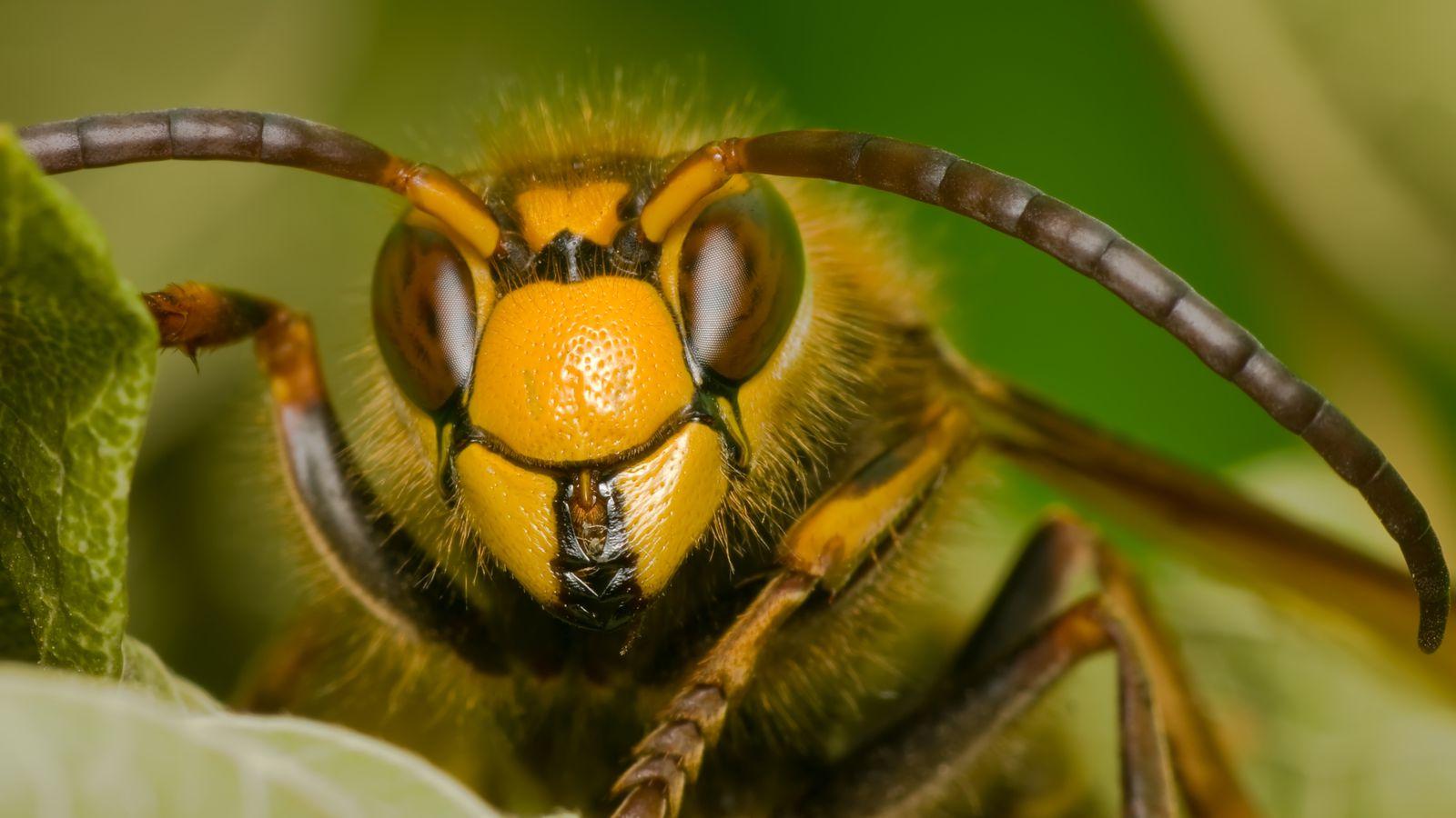 Шершень обыкновенный и его отличие от осы