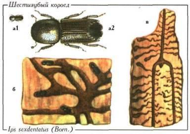 Заболонник березовый — scolytus ratzeburgi jans. насекомые-вредители леса уральского федерального округа