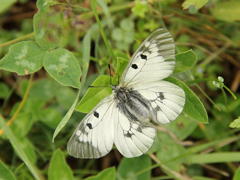 Бабочка — как выглядят, строение, виды, питание, превращение, фазы жизни + 118 фото