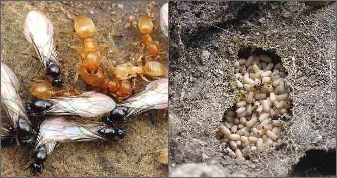 Как избавиться пшеном от муравьев на даче: инструкция по применению народного способа