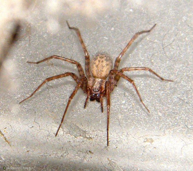 Домашние пауки – фото, виды, содержание, питание, размножение
