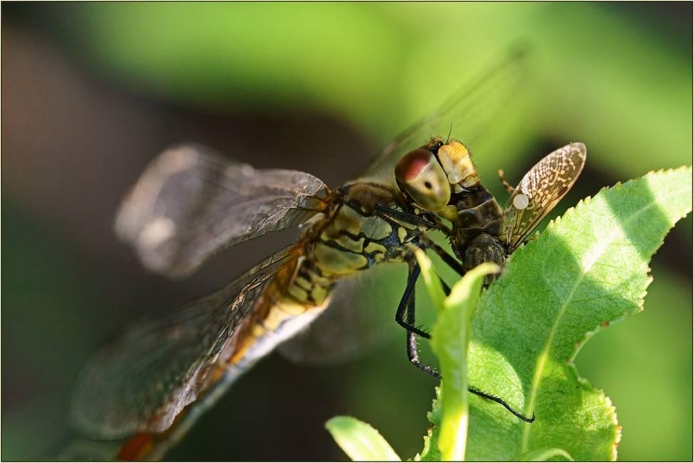 Чем питаются стрекозы? | полезная информация для всех