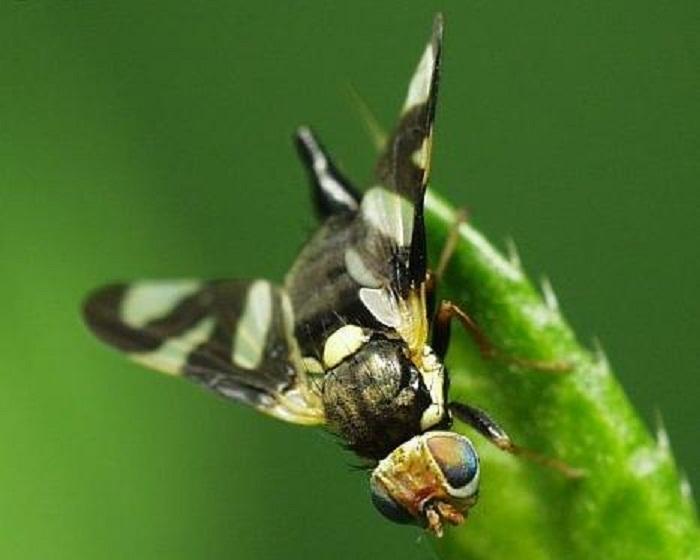 Вишневая муха, методы борьбы с вредным насекомым