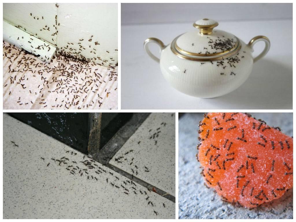 Рыжие муравьи в квартире - как избавиться? причины появления рыжих муравьев в квартире, варианты их изгнания - секреты садоводов