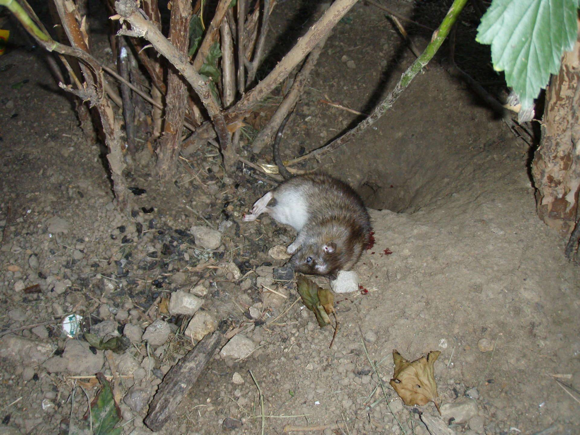Как вывести земляных и водяных крыс на дачном участке