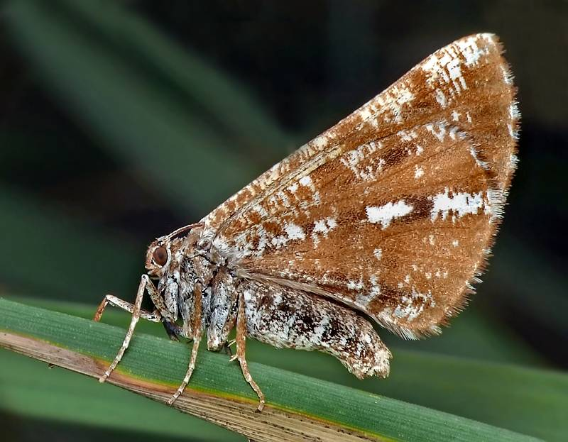 Пяденица: виды, описание бабочек. бабочки пяденицы – вредители садовых, ягодных, декоративных культур красочные «бабочки» и их замечательные гусеницы