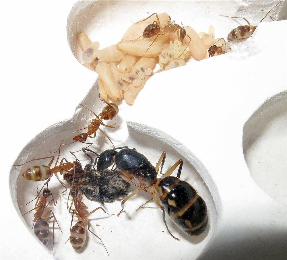 Как выманить королеву муравьев. как выглядит матка муравьиная? описание и фото