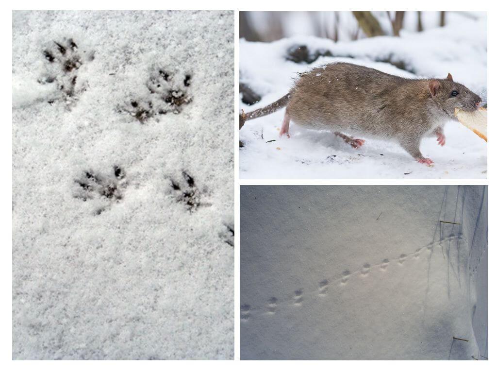 Как выглядят следы крысы на снегу: фото и описание следов