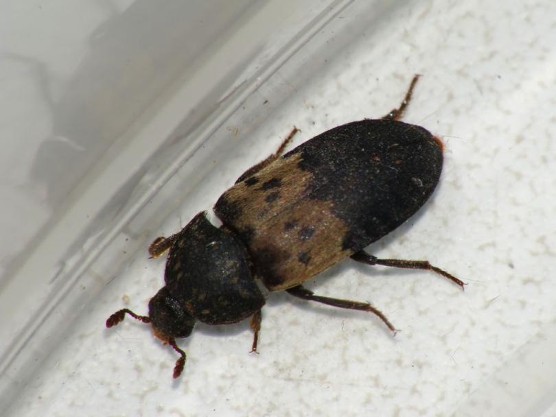 Маленькие коричневые жучки в квартире: виды с фото, как избавиться