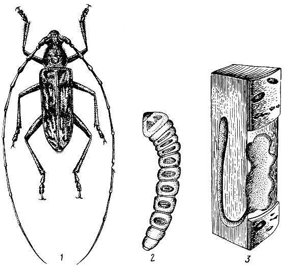 Жук дровосек. описание, особенности, виды и среда обитания жука дровосека   живность.ру