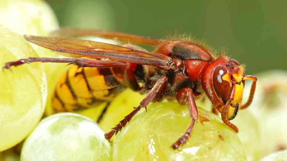 Чем питаются осы зимой и летом, едят ли они рыбу и мясо?