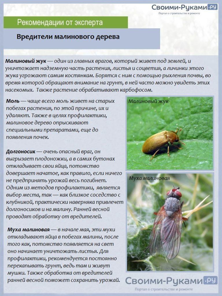 Как бороться с вишневой мухой / асиенда.ру