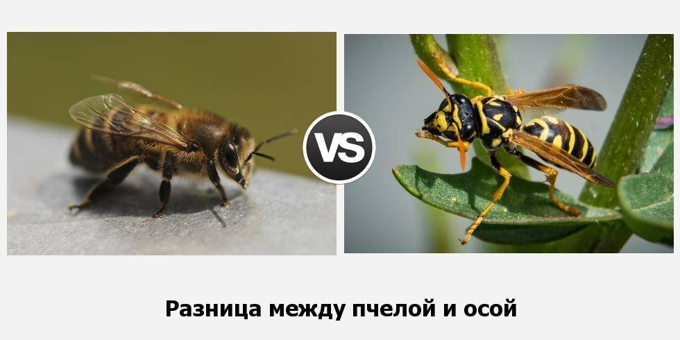 Отличия шмеля от пчелы и осы: сходства и различия, чем питаются