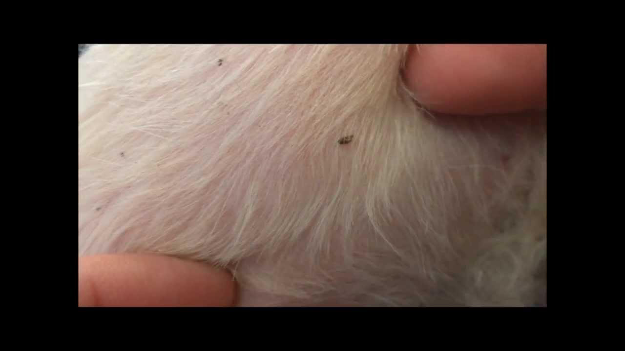 Как быстро вывести блох у собак в домашних условиях