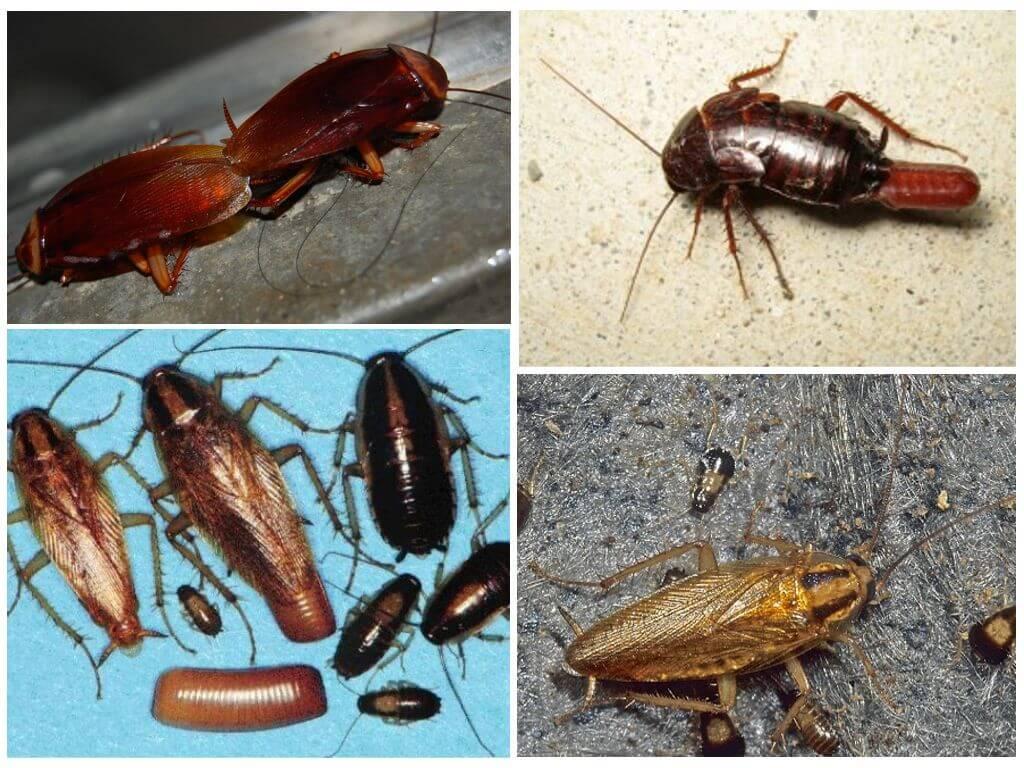 Сколько дней живут тараканы без еды. сколько живут тараканы домашние — в различных условиях и методы борьбы с ними. живет ли таракан без головы