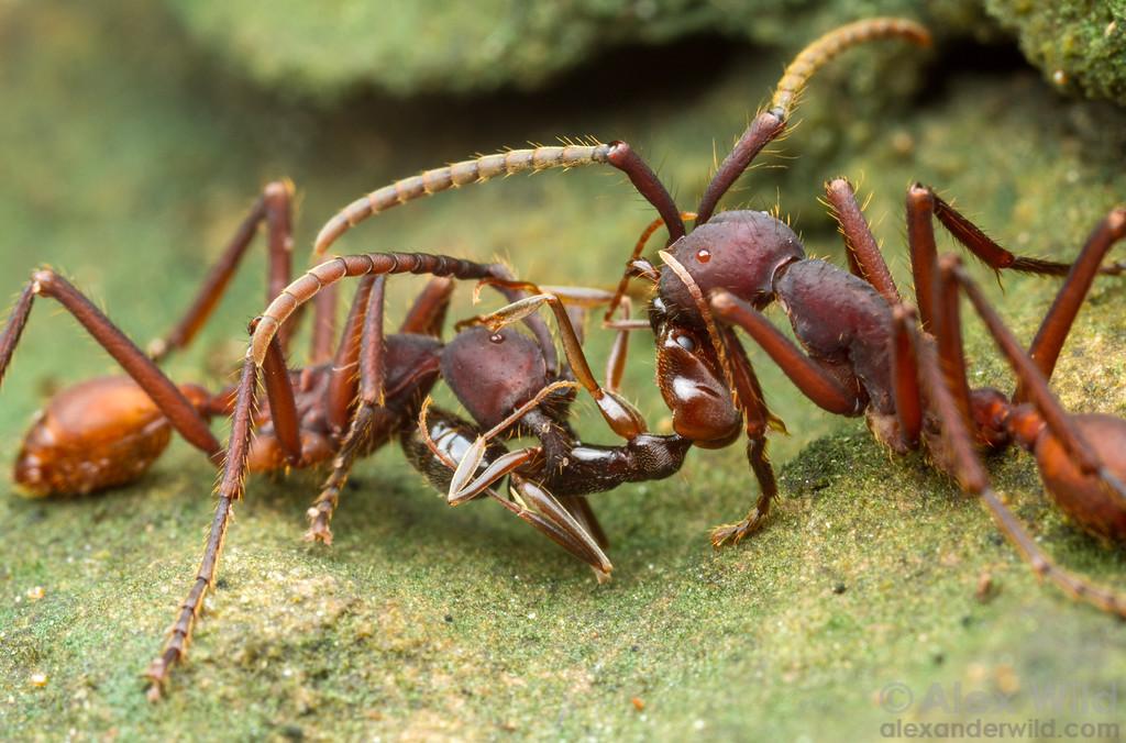 Муравьи кочевники– реальная жизнь тропических хищников