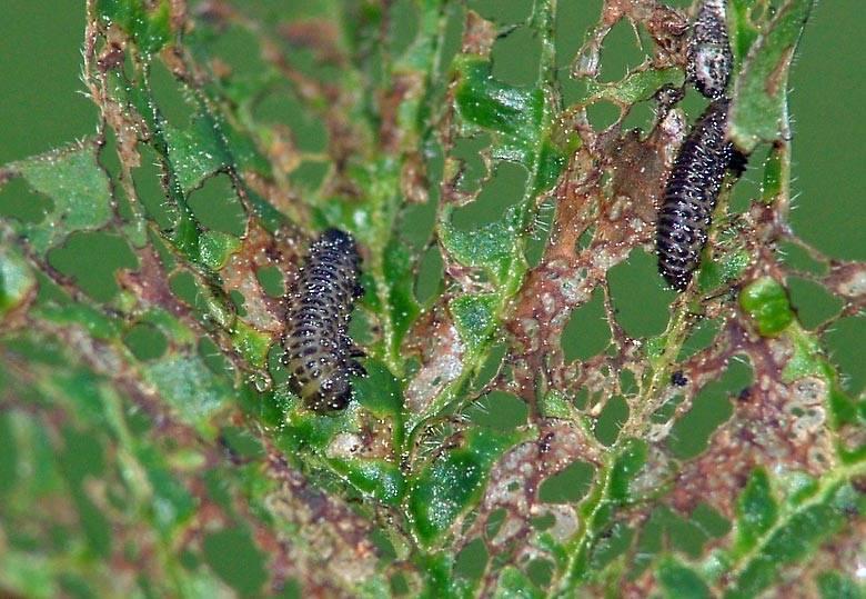 Как бороться с вредителями и болезнями калины