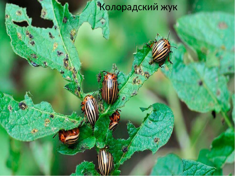 Колорадский жук – описание, борьба, средства и методы, фото