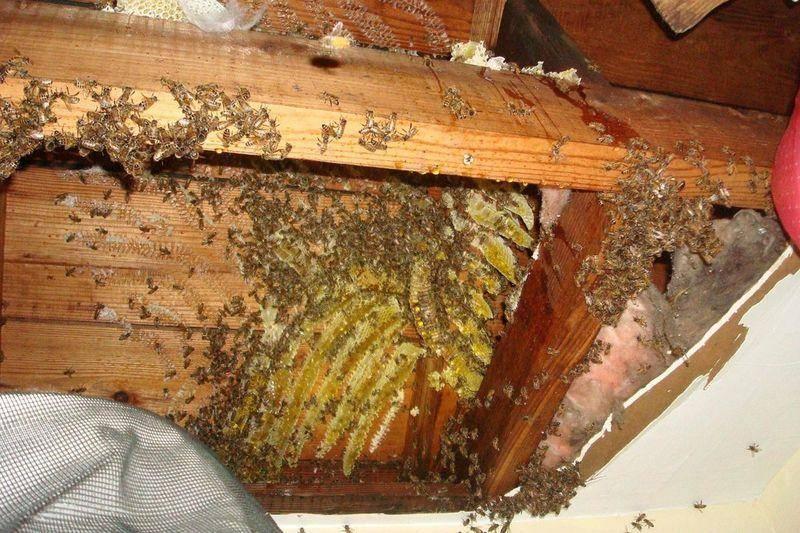 Как избавиться от шмелей и их гнезд в доме