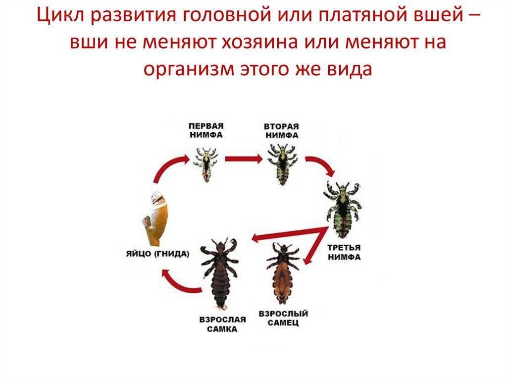 ❶ как быстро размножаются вши на голове, жизненный цикл развития