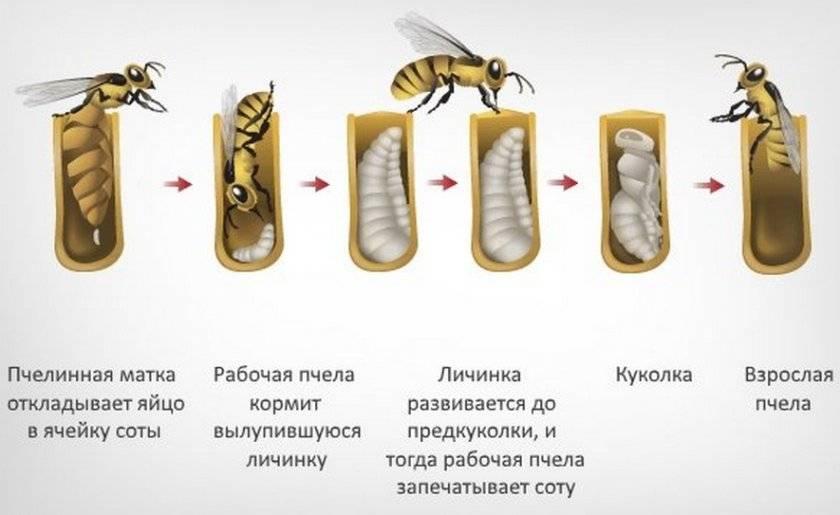 Пчела — это животное или насекомое?