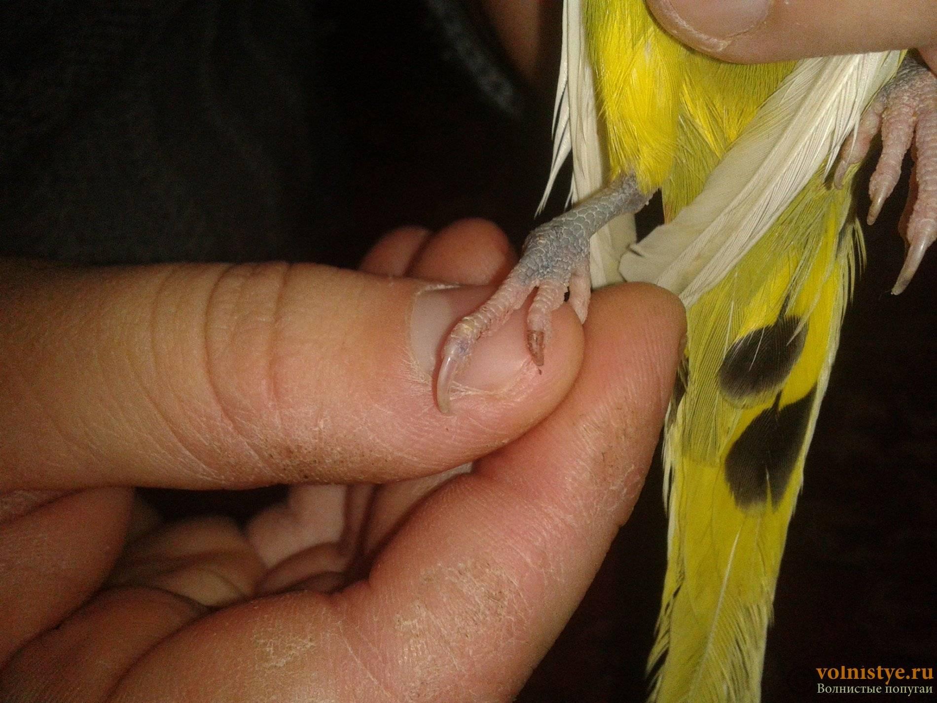 Как понять, что у попугая завелись блохи? | болезни попугаев избавление от блох у попугаев — топ эффективных домашних методов | болезни попугаев