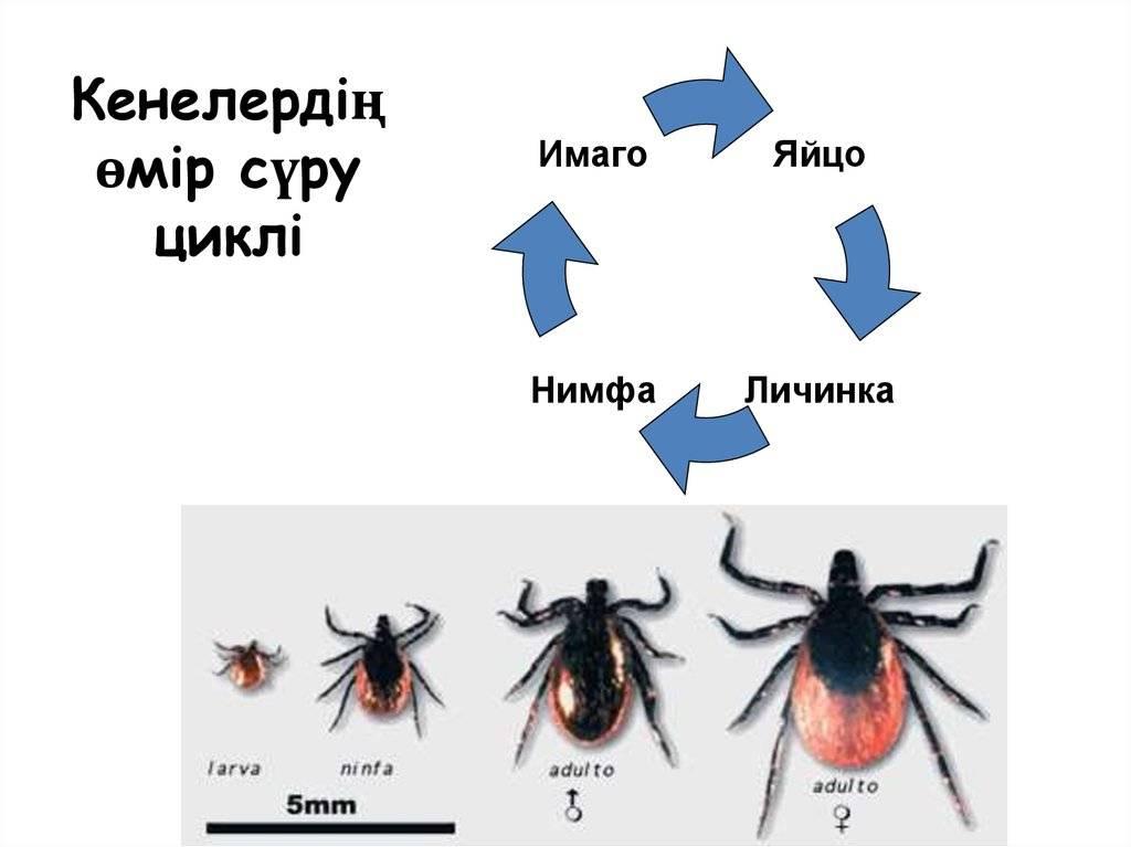 Где живут клещи: места обитания паутинных или чесоточных клещей зимой и как избавиться от них в квартире народными средствами