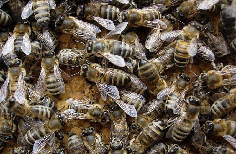 Карпатская пчела: характеристика, описание, разведение и содержание породы